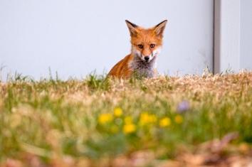 Urban foxcub