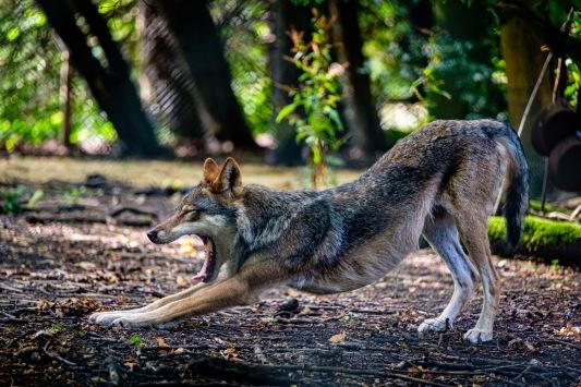Wolf yawn